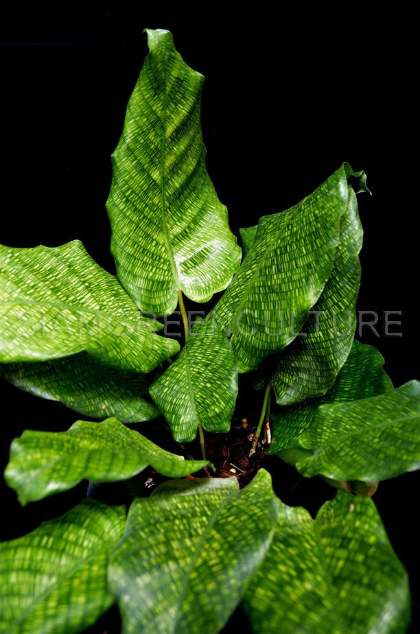 Calathea Musaica Rare Tropical Terrarium Plant