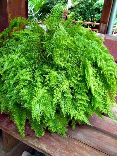 Nephrolepis boston fern - Nephrolepis exaltata ...