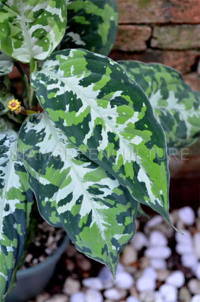 """The Wholesale House >> Aglaonema pictum """"Tricolor"""" Form 1 -- Rare terrarium aroids"""